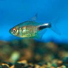 Head & Tail Light Tetra