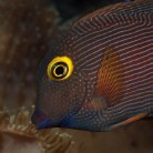 Kole/Yellow Eyed Tang