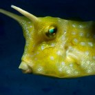 Long-Horned Cowfish