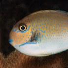 Lopezi Unicornfish