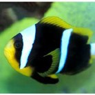 Orange Finned Clown