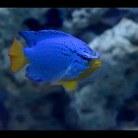Orange-Tailed Blue Devil