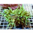 Acropora spp. (A. subglabra)