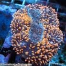 Brain Coral - Lobophyllia sp