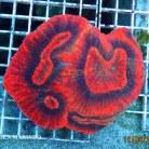 Australomussa rowleyensis