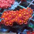 Goniopora spp