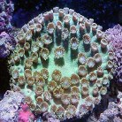 Pagoda Cup Coral