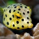 Polkadot Boxfish