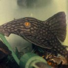 Royal Pleco (L-191)