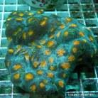 Acanthastrea spp