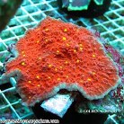 Chalice Coral Red
