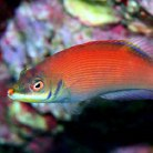 Scarlet Pin Strip Wrasse