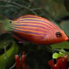 Six-Lined Wrasse