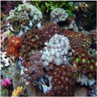 Special Rainbow Polyps