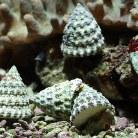 Spiny Shell Snail