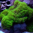 Star Polyps Metallic Green