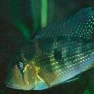 Threadfin Geophagus