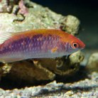 Tri - Color Fairy Wrasse