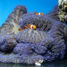 True Carpet Anemone
