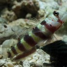 Wheelers Watchman Goby