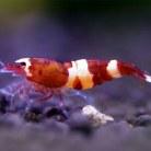 Shadow Shrimp Wine Red