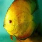 Yellow Marlboro Discus