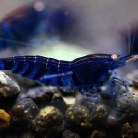 Blue Tiger Shrimp - Orange eye