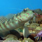Pink-and Blue Spotted Goby
