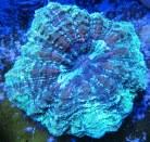 Doughnut Coral