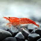 Red Fire / Cherry Shrimp