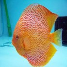 Red Leopard Discus Medium