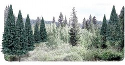 """2""""-4"""" Ready Made Blue Spruce Value Pack (18/Pk)"""