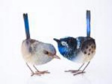 Animal Blue Wren Pair