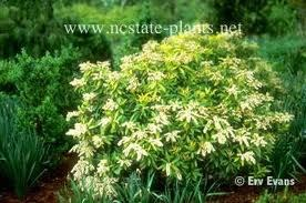 Pieris, Brouwers Beauty, 5 gal