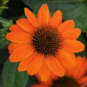 Coneflower, Adobe Orange,1or2g