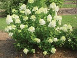 Hydrangea, Limelight, 7 gal