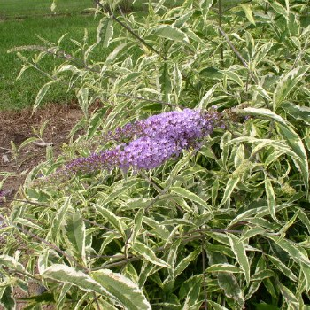 Buddleia, Summer Skies, 3 gal