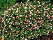 Abelia, Rose Creek, 3 gal