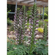 Acanthus, Morning Candle 1or2g
