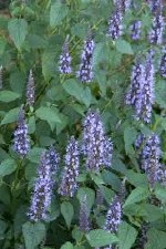 Agastache, Little Adder, 1 gal