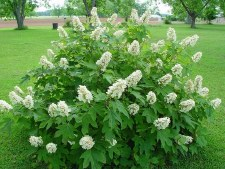 Hydrangea, Alice OakLeaf, 3/5g