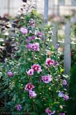 Althea, Purple Pillar, 3g