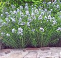 Amsonia, Blue Star, 1or2gal
