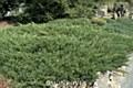 Juniper, Andora, 3 gal