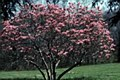 Magnolia, Ann FTM, 5-6'
