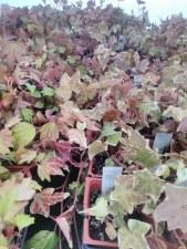 Annuals, Accent & Ivy pots
