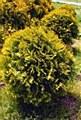Arborvitae, Gold Globe FTM3-4'