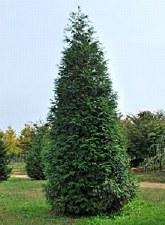 Arborvitae, Green Giant,12-14'