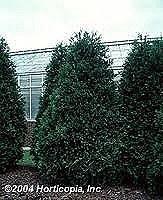 Arborvitae, Techny FTM 8-9'