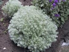 Artemisia, Silver Mound, 1 gal